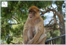 One of the apes on Gibraltar rock.  half an hour away