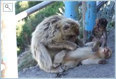 Apes on rock of Gibraltar