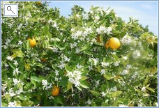 Orange groves surround Miramar. Notice fruit and blossom at
