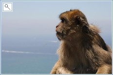 A Gibraltan monkey