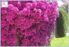 our colourful bourganvilla